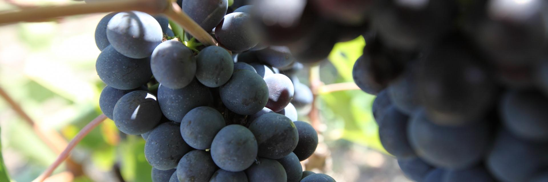 Umbrian grapes
