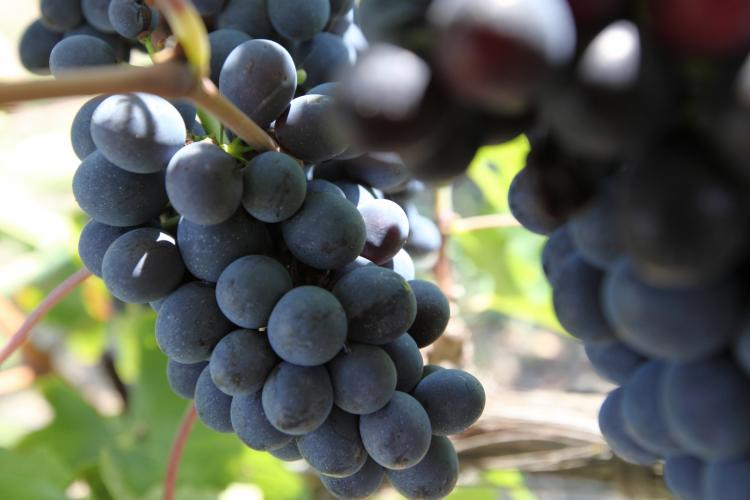 Umbrian grapes, photo of the Umbria Region website